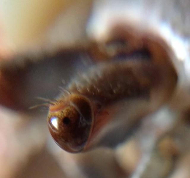 C. clypeatus eyes