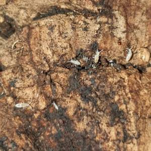 Springtails on cork bark