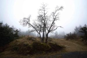 Arbutus tree in fog