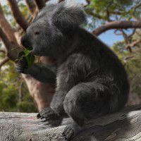 DAZ3D ~ Poser : Koala