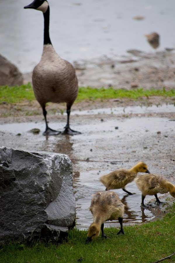 Birds Prince's Island Geese Goslings