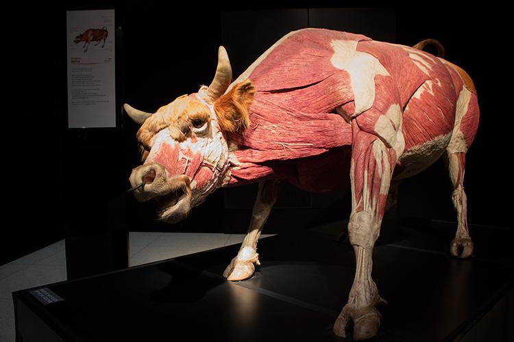 TELUS Spark BODY WORLDS Animal Inside Out Bull