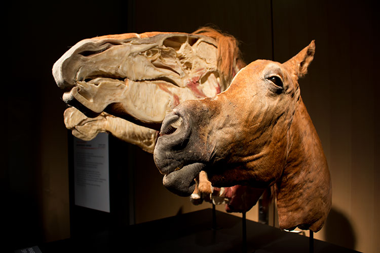 TELUS Spark BODY WORLDS Animal Inside Out horse head cut in two