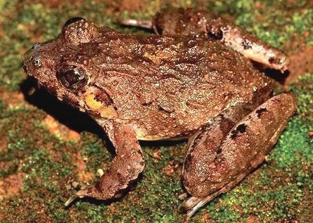 Kalinga Frog