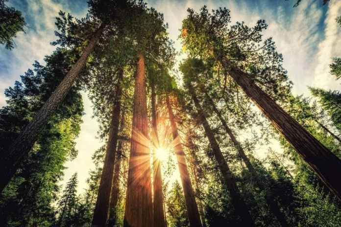Tree-Rings Might Trap the Echoes of Exploding Stars Final Cries