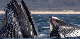 Humpback Whale swallowed diver and spits him out alive after 30 seconds