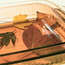 Preserving Leaves with Glycerin