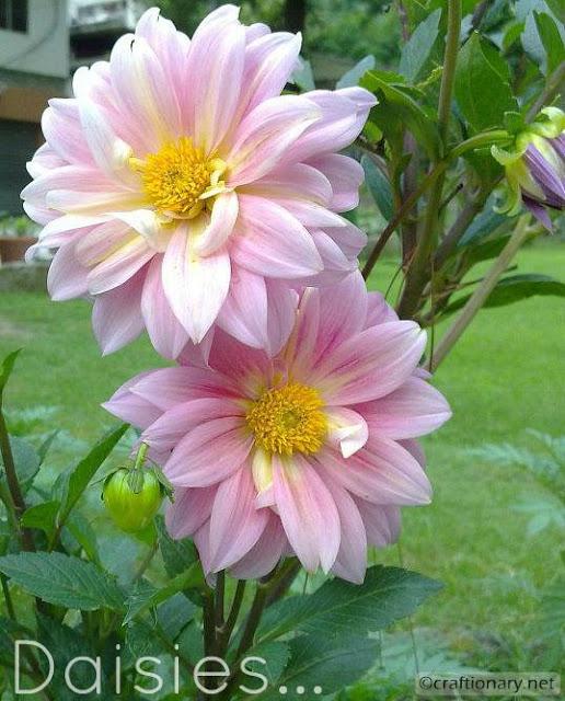 spring-flower-daisies-pink-home-garden