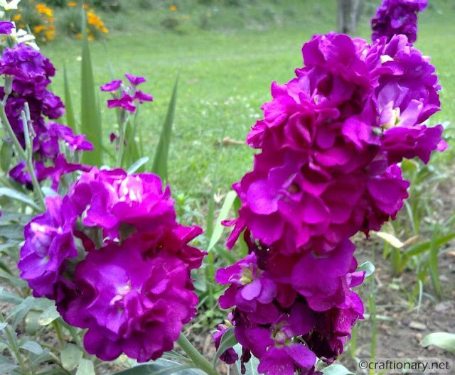 purple-bunch-flowers-spring-home-planted