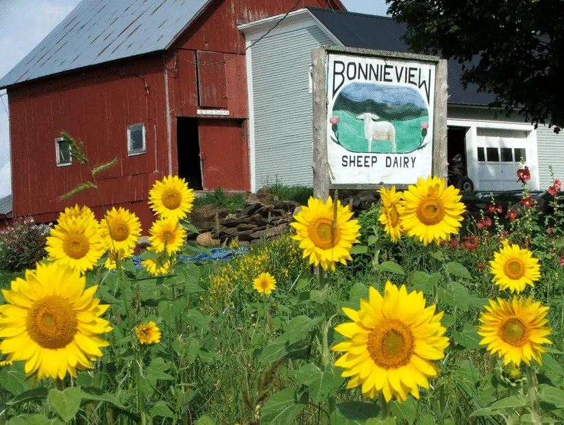 Bonnieview Sheep Dairy - sunflowers - Albany, VT