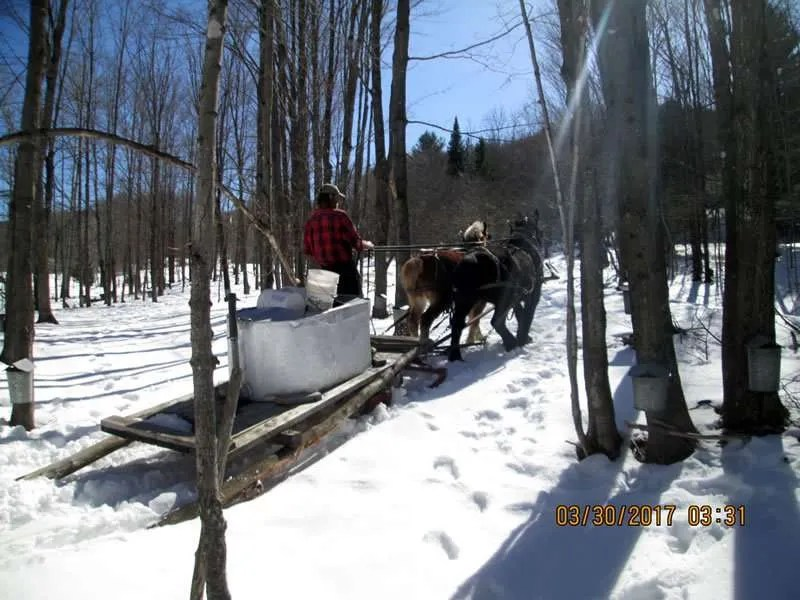 Albany Farm Stand collecting maple sap - Albany, VT