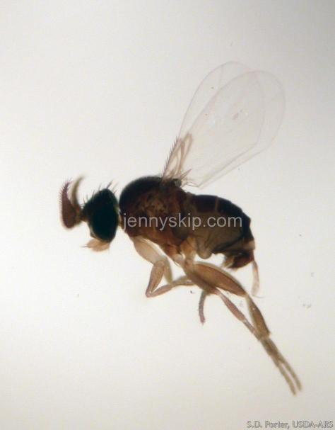 fire ant decapitating fly