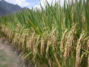 On a small plot of 5 acres in Northern India, a farmer produced more than 10 tons of rice per acre through a purist method of organic farming method called the System of Rice Intensification (SRI). By comparison, the average paddy yield worldwide is about 2 tons per hectare. Photo by AgriCultures Network