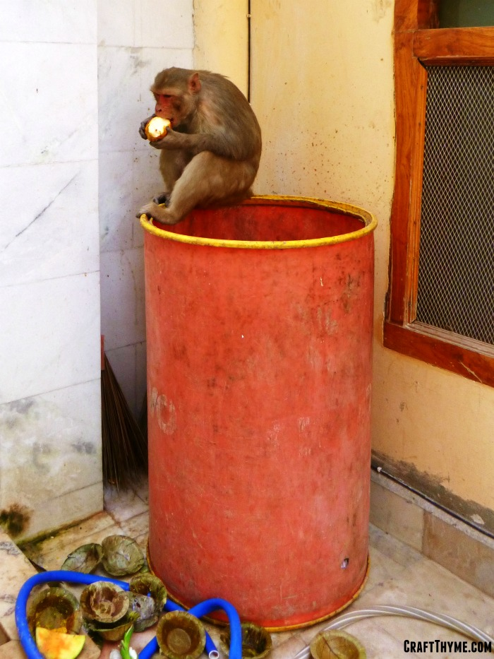 Our trip to Holi in India: Temple Monkey