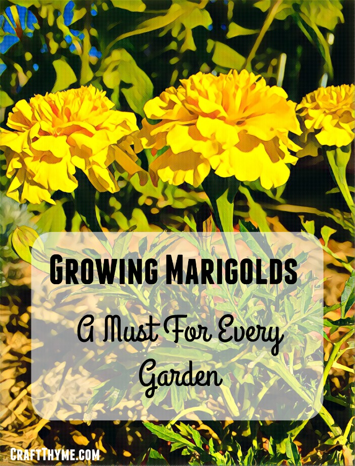 Every garden can use Marigolds. Find out these fun facts about why you need to add marigolds to your garden and how easy they are to grow.