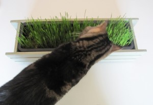 DIY Cat Grass