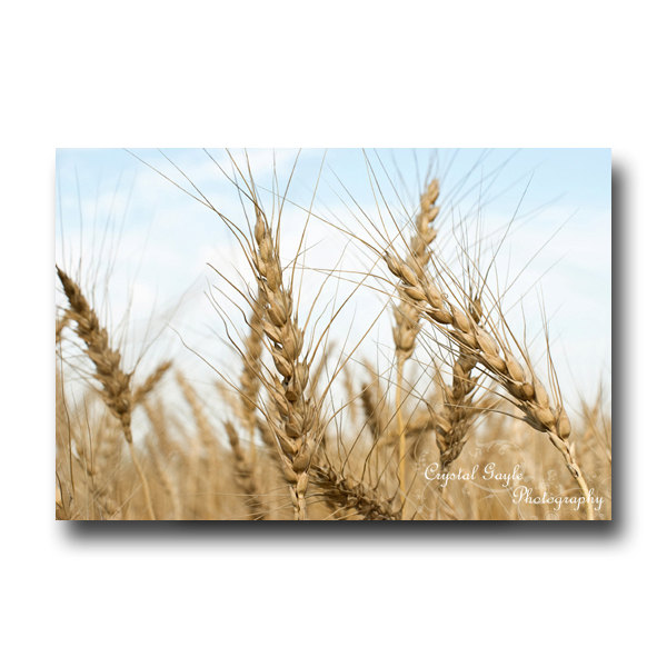 Wheat Field Photography