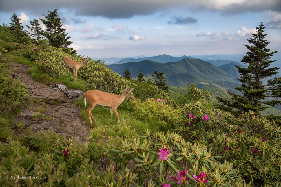 Deer among rhododendron bloom on Roan Mountain