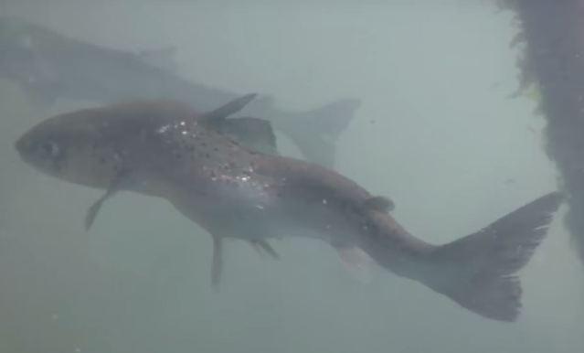 deformed salmon