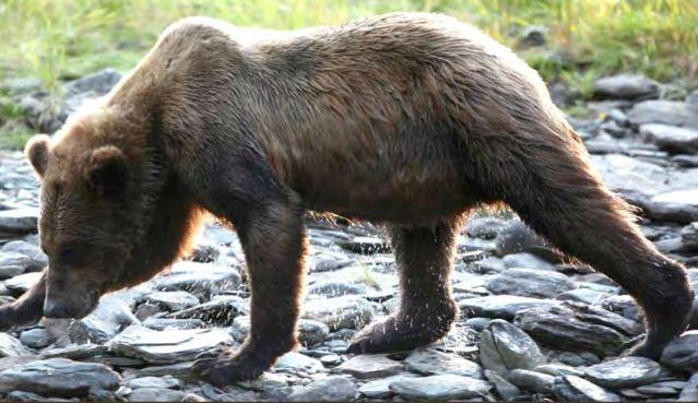subadult grizzly.JPG