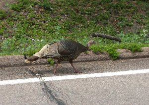 Pikes Peak has a diverse assortment of wildlife, but the only creature visible on race day was a nervous-looking turkey. Craigslegz.com