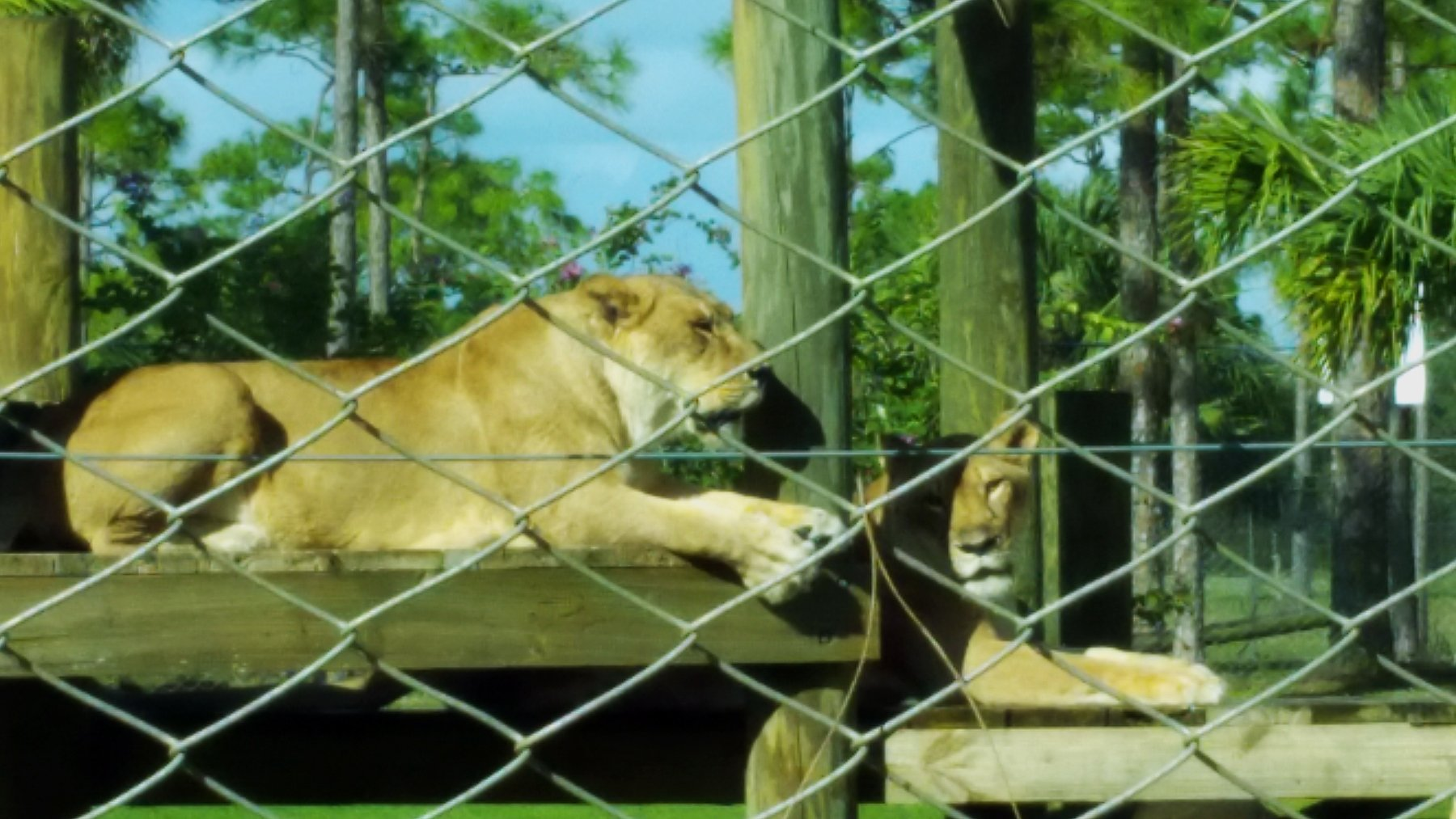 lounging-lion-country-safari