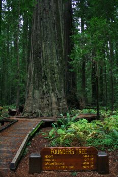 The Founders Tree is one of the biggest - and tallest - attactions at Humboldt Redwoods State Park. (Craig Davis/Craigslegztravels.com)