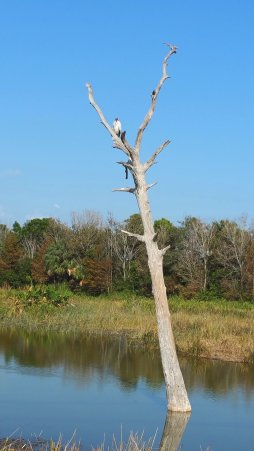 A wood stork keeps a solitary vantage point at Wakodahatchee Wetlands. (Craig Davis/CraigslegzTravels)