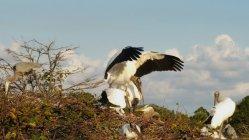 Wood storks build their nests at Wakodahatchee Wetlands. (Craig Davis/CraigslegzTravels)