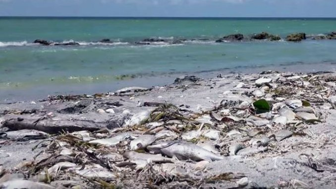 The worst outbreak of red tide in a decade is killing fish by the thousands on Florida's southwest coast.