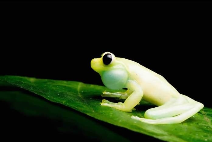 A biologist working for Mashpi Lodge discovered a previously unknown frog species, now know as the Mashpi Torrenteer.