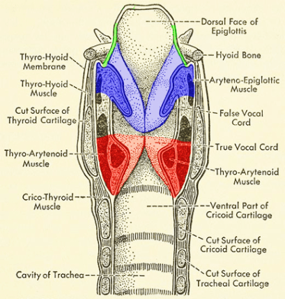 Pictured are the true vocal folds (red), the false vocal folds (blue) and the aryepiglottic folds (green).