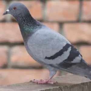 pigeon-perched-outside-home-roof