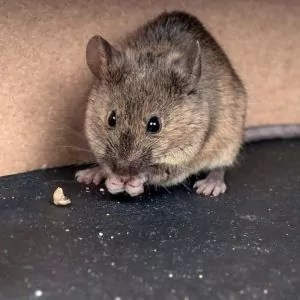 mouse-eating-along-exterior-of-phoenix-home