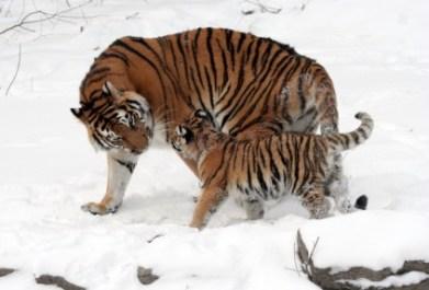 Tiger mit Jungtier im Schnee, Somatic Experiencing für Kinder
