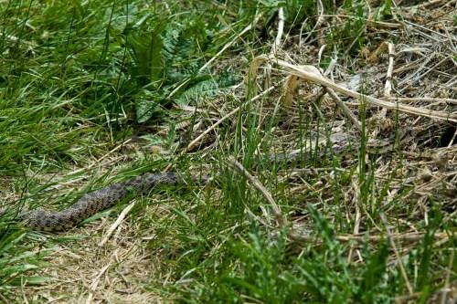 Snake-7