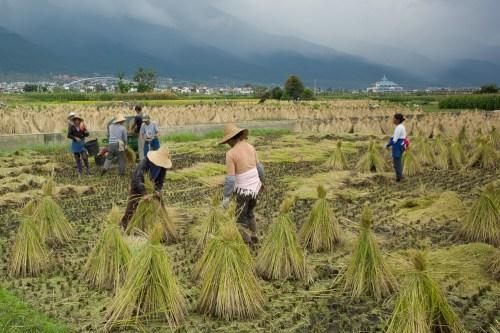 Rice_harvest-2