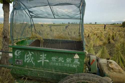Rice_harvest-3