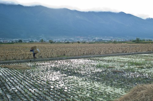 Rice_harvest-7