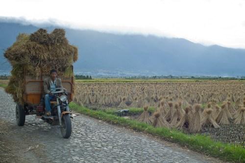 Rice_harvest-8