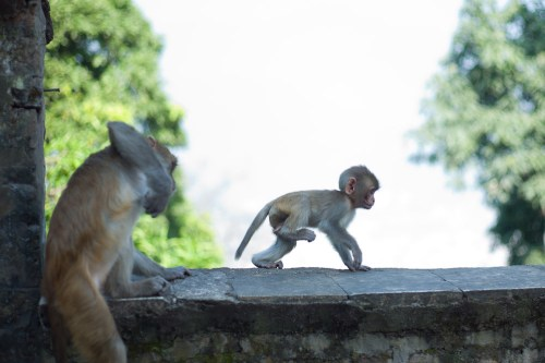 Swayambhu_temple_monkey