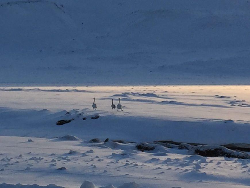 Des oies à Seltun - Islande