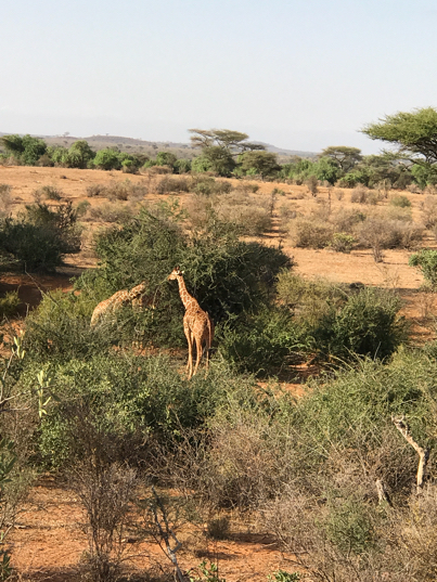 Girafes au Kenya - Laikipia