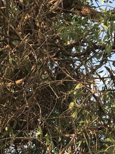 Léopard caché dans un arbre au Kenya