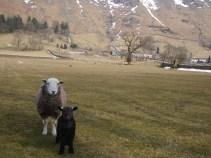 Herdwick ewe and lamb