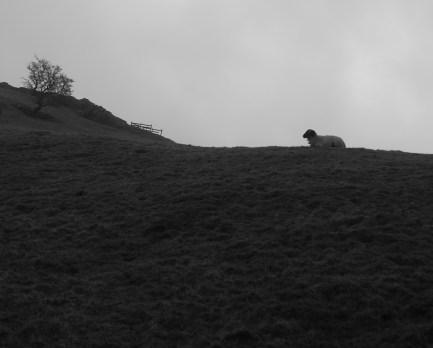 Stoic sheepy