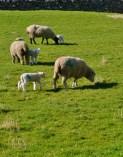 Cartmel lambs!
