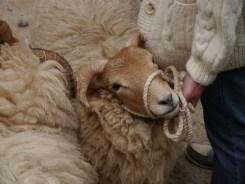 The gorgeous Portland sheep