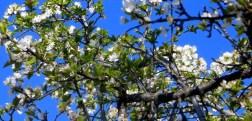 CherryPlumBlossoms 2-29-2016 10-39-41 AM