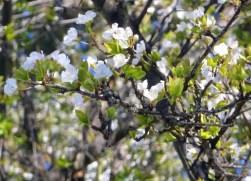 CherryPlumTreeBlossoms 2-29-2016 10-39-33 AM